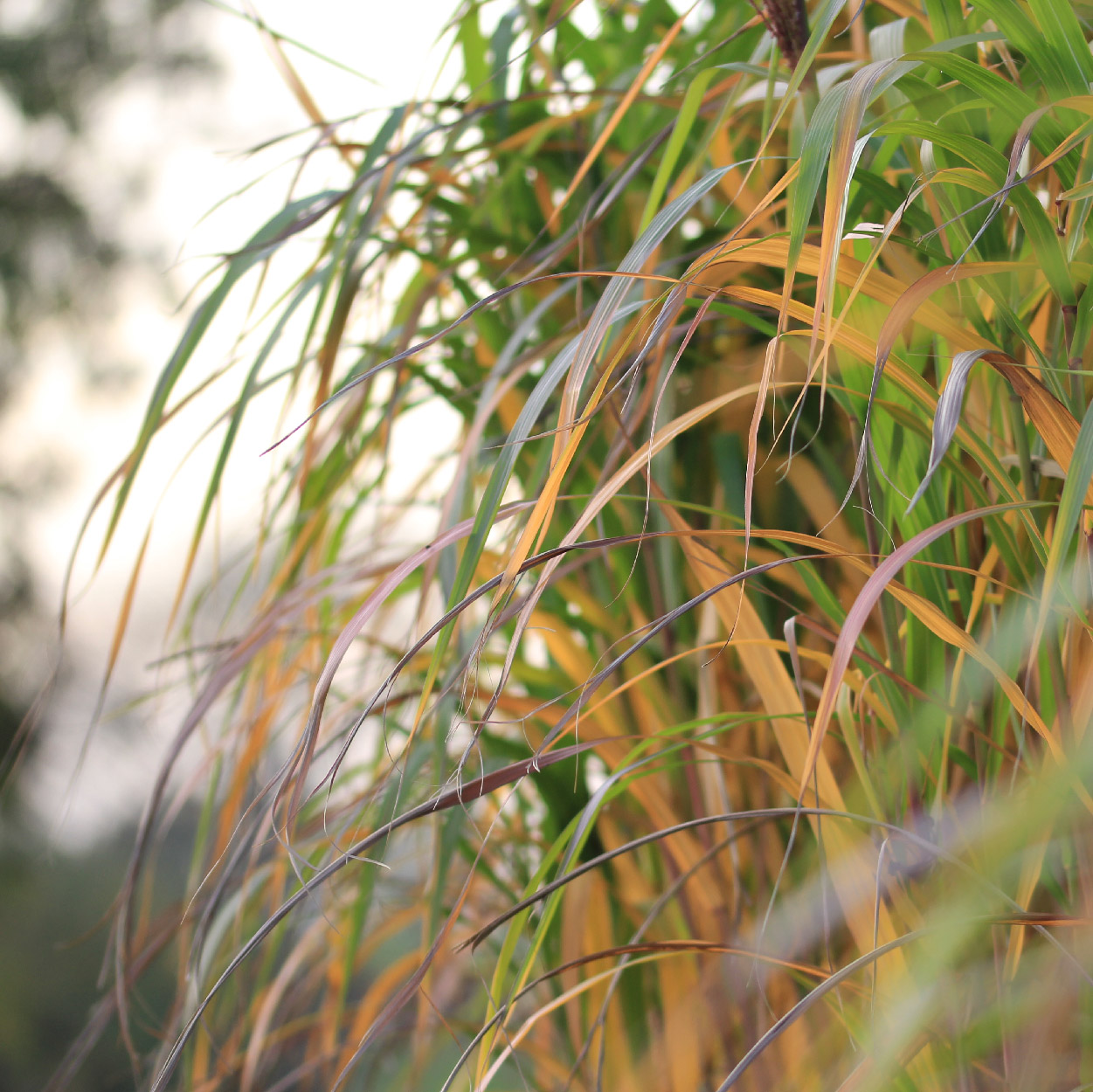 Perennial grass Miscanthus before becoming Miscanthus bedding