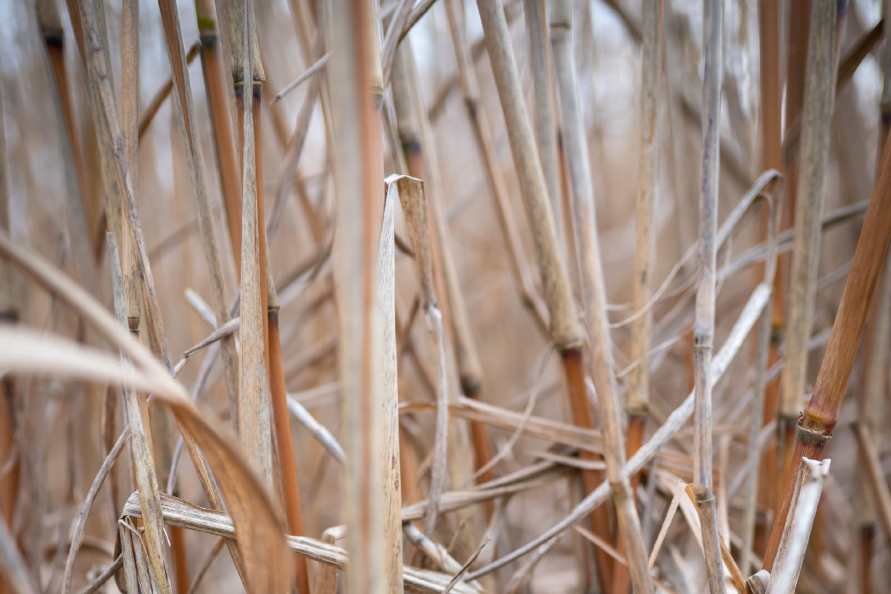 Miscanthus has a spongey inner core which is known as the 'pith' inside the cane