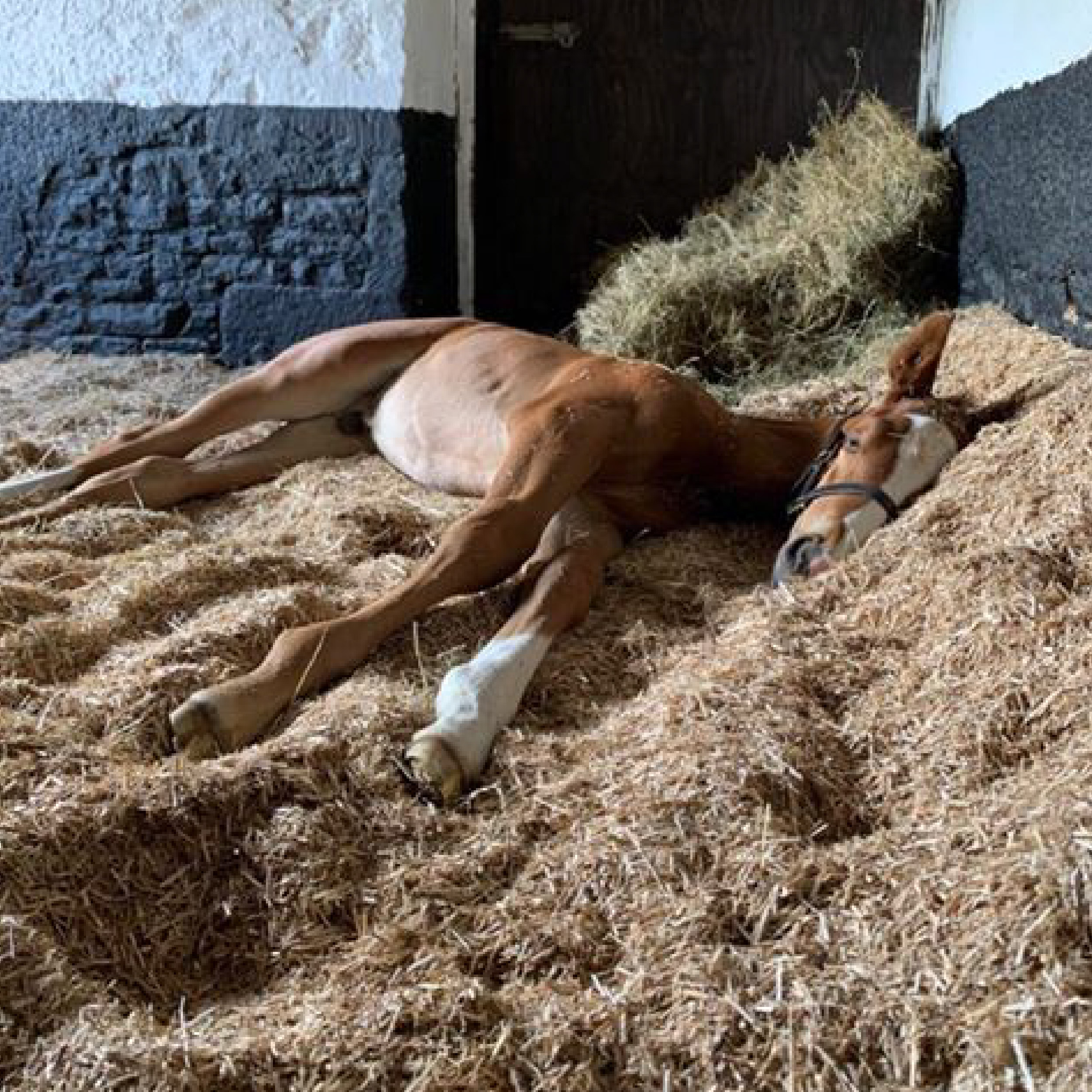 young foal lying down on firm and comfortable Miscanthus bed